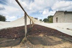 Uvas de sequía para las pasas Foto de archivo libre de regalías