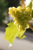 Uvas de sobremesa amarelas Imagem de Stock Royalty Free