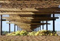 Uvas de Sun Muscat en el alambre Mesh Tier. Fotos de archivo libres de regalías