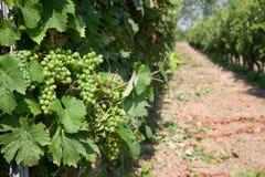 Uvas de Timorasso en vides en Piamonte Foto de archivo