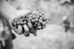 Uvas de Toscana fotografía de archivo libre de regalías