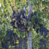 Uvas de Tuscan--Apronte para a colheita Fotos de Stock Royalty Free