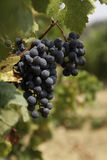 Uvas de vino Imagenes de archivo