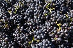 Uvas de vino. Foto de archivo libre de regalías