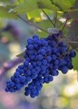 Uvas de vino azules Fotografía de archivo libre de regalías