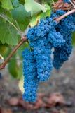 Uvas de vino azules Fotos de archivo