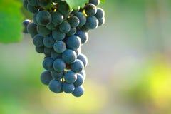 Uvas de vino azules foto de archivo