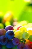 Uvas de vino azules de maduración fotos de archivo libres de regalías