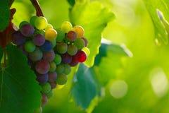 Uvas de vino azules de maduración Fotografía de archivo libre de regalías