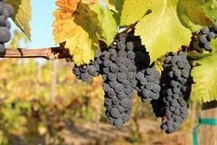 Uvas de vino azules maduras Foto de archivo libre de regalías