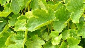 Uvas de vino Barossa Valley Fotografía de archivo