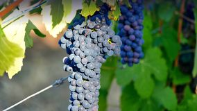 Uvas de vino Barossa Valley Imagen de archivo libre de regalías