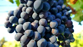 Uvas de vino Barossa Valley Fotos de archivo