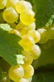 Uvas de vino blancas de Riesling en el viñedo Foto de archivo libre de regalías