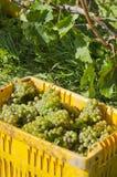 Uvas de vino cosechadas del vino de Riesling #1 Foto de archivo libre de regalías