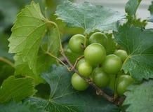 Uvas de vino de Chardonnay Foto de archivo libre de regalías