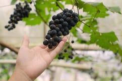 Uvas de vino de Inspecting His Ripe del granjero listas para la cosecha Foto de archivo libre de regalías