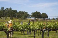 Uvas de vino de la poda de los trabajadores en viñedo fotografía de archivo libre de regalías