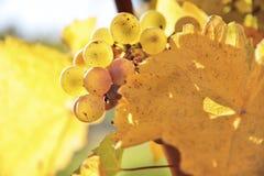 Uvas de vino de Riesling Imagenes de archivo