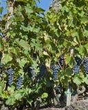 Uvas de vino de Ted para la cosecha imagen de archivo