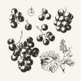 Uvas de vino dibujadas tinta Foto de archivo libre de regalías