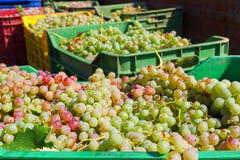 Uvas de vino en cajas del cajón después de cosechar en un viñedo Imagenes de archivo