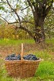 Uvas de vino en cesta Imagenes de archivo