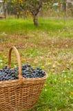 Uvas de vino en cesta Imágenes de archivo libres de regalías