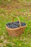Uvas de vino en cesta Imagen de archivo libre de regalías