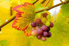 Uvas de vino en el primer de la vid Fotografía de archivo