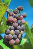 Uvas de vino en la vid Foto de archivo libre de regalías