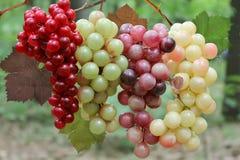 Uvas de vino en la vid. Fotos de archivo libres de regalías