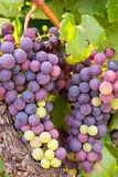 Uvas de vino en la vid lista para la cosecha Fotografía de archivo libre de regalías