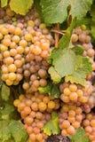 Uvas de vino en la vid lista para la cosecha Fotografía de archivo