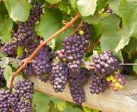 Uvas de vino en la vid lista para la cosecha Imagen de archivo libre de regalías