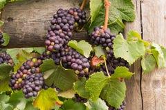 Uvas de vino en la vid lista para la cosecha Fotos de archivo libres de regalías