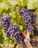 Uvas de vino en la vid lista para la cosecha Fotos de archivo