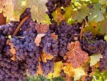 Uvas de vino en la vid lista para la cosecha Foto de archivo
