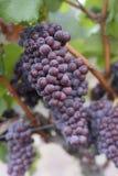 Uvas de vino en la vid imagen de archivo