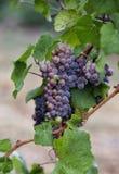 Uvas de vino en la vid fotografía de archivo