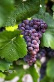 Uvas de vino en la vid fotos de archivo