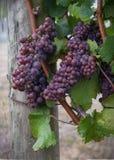 Uvas de vino en la vid imagen de archivo libre de regalías