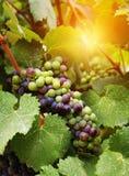 Uvas de vino en viñedo Imagenes de archivo