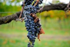 Uvas de vino en vid en el valle de Yarra Imágenes de archivo libres de regalías