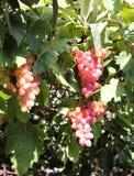 Uvas de vino hermosas Crete, Grecia fotos de archivo libres de regalías