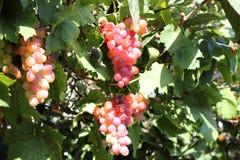 Uvas de vino hermosas Crete, Grecia foto de archivo