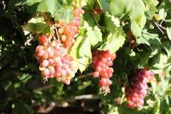 Uvas de vino hermosas Crete, Grecia imagen de archivo libre de regalías