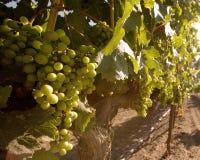 Uvas de vino hermosas maduras para la cosecha Foto de archivo libre de regalías