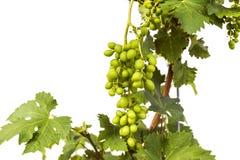 Uvas de vino inmaduras verdes jovenes Fotografía de archivo libre de regalías