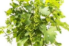 Uvas de vino inmaduras verdes jovenes Imágenes de archivo libres de regalías
